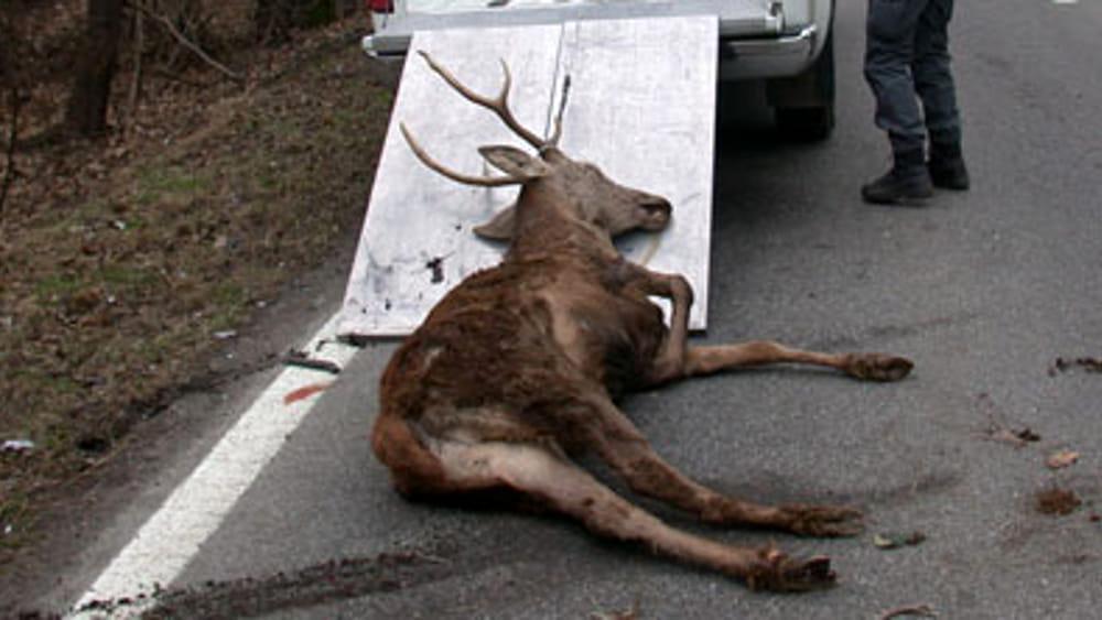 Incidente stradale a storo investe due cervi gli animali for Consulente d arredo cosa fa